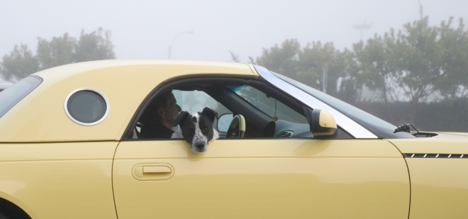 Animal_Dog_in_yellow_car_9155_1280p